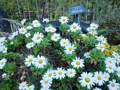 11月の万葉植物園ハマギク