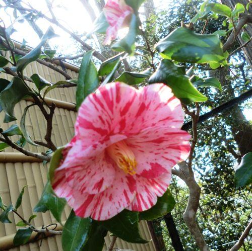 3月の万葉植物園 椿