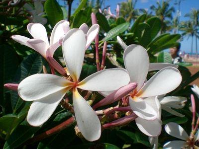 ハワイ・プルーメリア