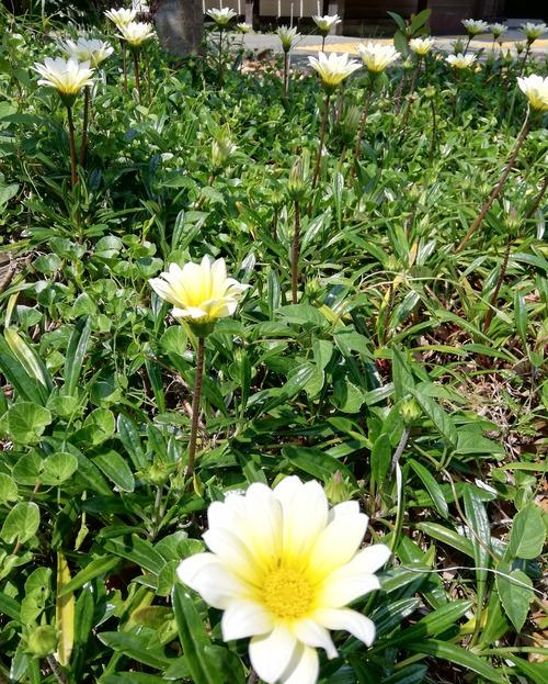 20200502白い花いっぱい