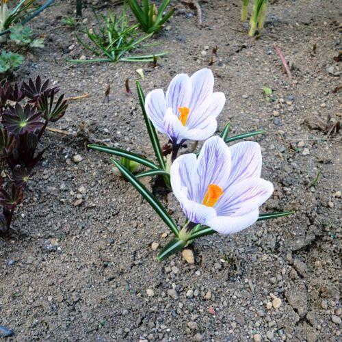 花壇のクロッカス3