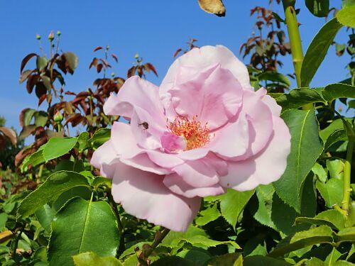 京成バラ園ピンクのばらアップ