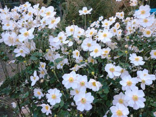 10月の万葉植物園白秋明菊