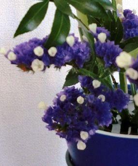 12-7-18スターチスの花咲いた