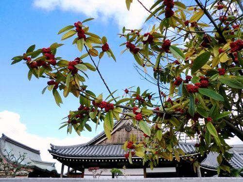 尼崎寺町 本興寺と紅い実