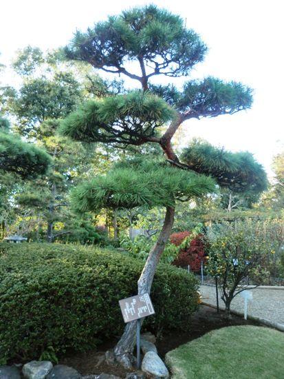 11月の万葉植物園アカマツ