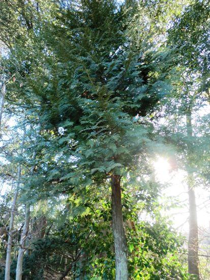 2月の万葉植物園 檜