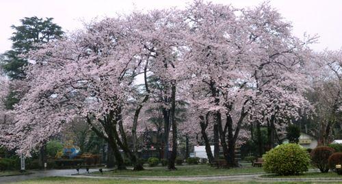 里見公園大木の桜