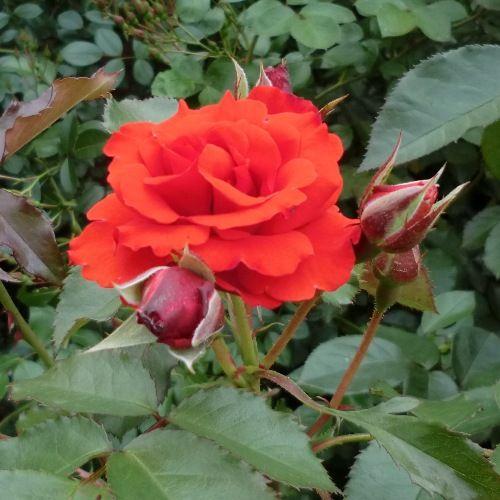 ゆにガーデン赤バラ00