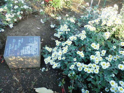 11月の万葉植物園ノジギク