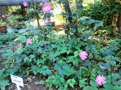 10月の万葉植物園紫秋明菊