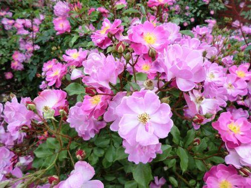 ゆにガーデンピンクの小バラいっぱい縮小版