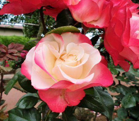 南行徳公園のバラ