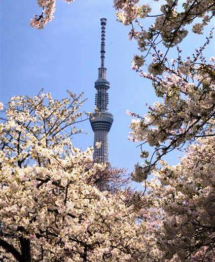 昇さんスカイツリーと桜