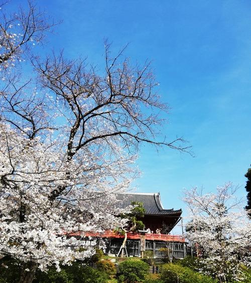 20210324上野の桜