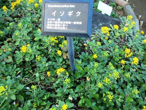 11月の万葉植物園イソギク