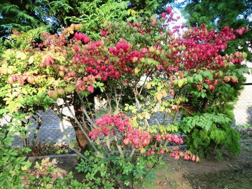 10月の万葉植物園コマユミ