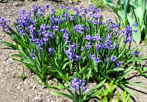 近所、青い花