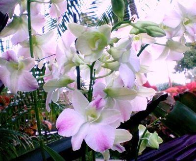 ハワイ・ピンクのぼかしデンファレ