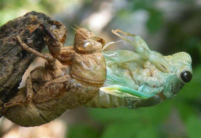 cicada_molting_neanderpaul