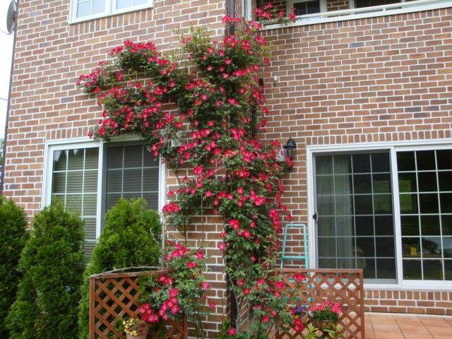 赤バラ 外壁
