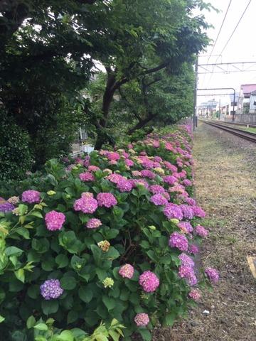 20190606_紫陽花