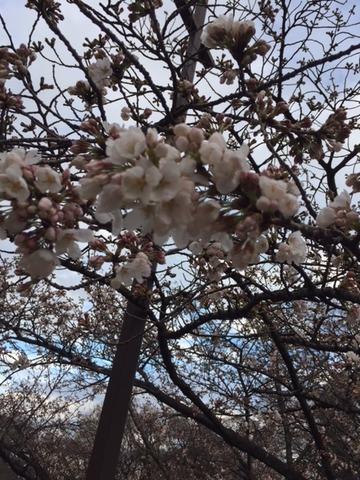 20180322_桜