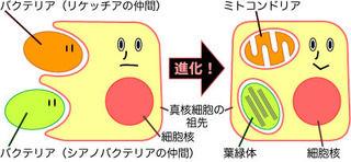 細胞内共生