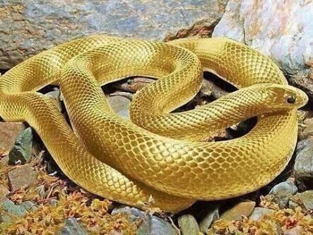 金色の蛇ちゃん