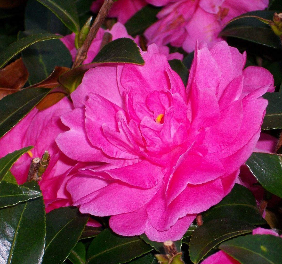 「寒椿」は「椿」と「山茶花」の交雑種で、花弁と雄蕊が合着している「椿」の... 先代さるく