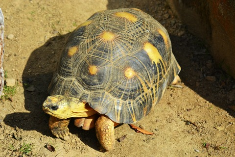 yellow-footed-tortoise-300327_1920
