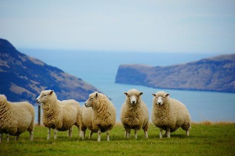 羊写真ダウンロード