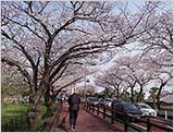 水元公園の桜:すでに4〜5分咲