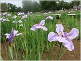 水元公園の菖蒲 咲き始めています