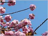 葉桜・八重桜・新緑