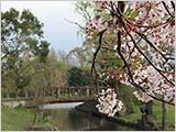 今日の水元公園:桜の終わり
