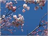 水元公園の桜:1〜2分咲き
