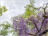 本土寺と藤と筍と