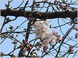 水元公園の桜は少しずつ…