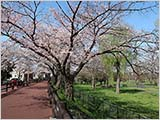 水元公園の桜:五分〜六分咲き