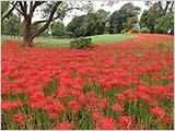 水元公園も曼珠沙華が咲き始めました