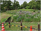 菖蒲の花を遠巻きに眺める