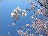 お花見日より:水元公園は5分咲き