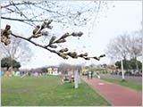 水元公園の桜:開花寸前