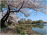 今日の桜:ほぼ満開