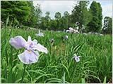 水元公園の菖蒲は咲き始めていました