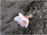 水元公園の桜:開くか開かないくらい…
