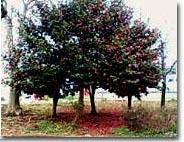 tsubaki_tree