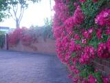 運河の薔薇