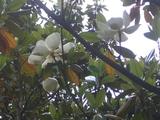 泰山木咲く